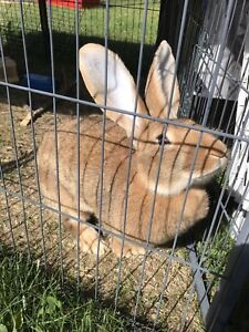 PURE 7 month old FLEMISH GIANT FEMALE
