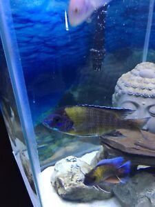 Adult Male Flavecent Peacock African Cichlid for sale