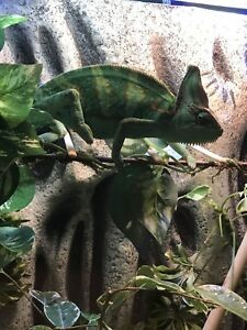 Adult veiled chameleon and enclosure