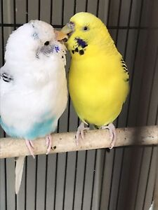 Budgie Pair Cannington Canning Area Preview