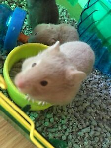 Syrian hamsters!