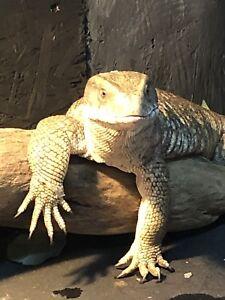 Refuge reptile
