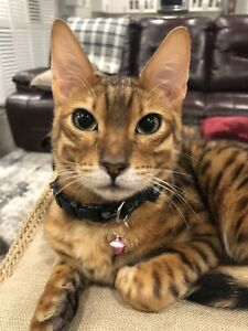 Bengal for sale