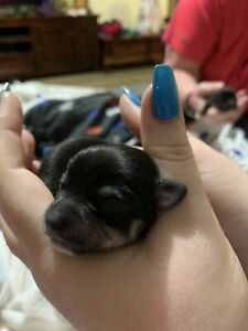 Wanted: Pure Chihuaha pups for sale! 4boys 2girls. Chi pups