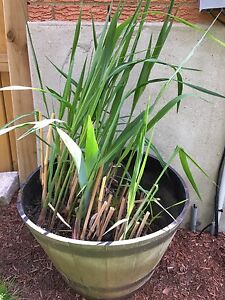 Giant Chinese Reed Grass