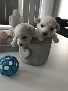 Pure Breed Bichon Frise puppies for rehoming