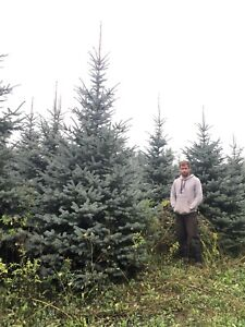 Huge blue spruce, Norway spruce, maples, lindens and much more