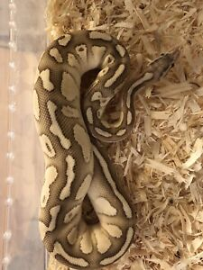 Pastel butter fire ball python male, sale or trade