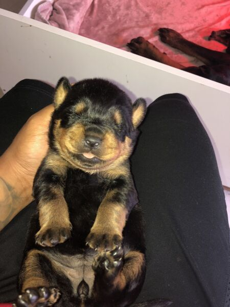 Imágenes De Rottweiler Puppies For Sale Perth Gumtree