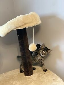 Beautiful Male F4 Savannah Kitten with exceptional personality.