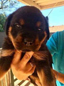 ROTTWEILER PUPS Mansfield Brisbane South East Preview