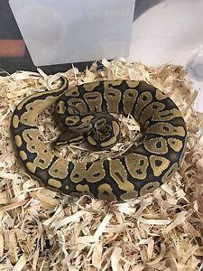 Orange Ghost ball python group