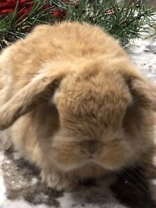 ***HOLLAND LOP BUNNIES  and a LIONLOP  BUNNY ***