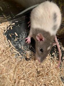 Sweet little male rat for sale