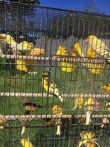 Cheap canarys for sale Peakhurst Hurstville Area Preview