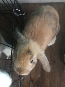 Lopped eared bunny