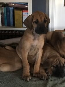 Great Dane pups $1500
