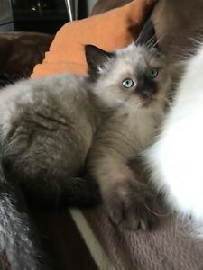 Upcoming ragdoll litter