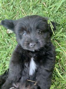 Moodle/Pomeranian Cross Puppy