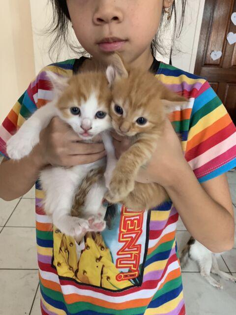 Abyssinian Cat Price Australia