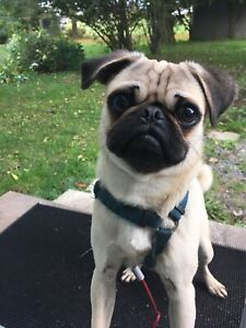 Pug Puppy Rehoming *PENDING*