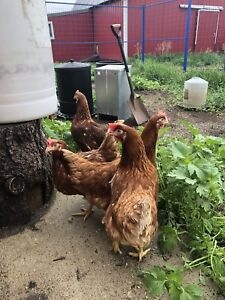 Brown laying hens forsale