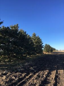 Large 15' spruce trees