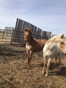 Red Roan Filly quarter horse