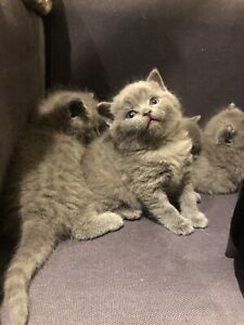 Pure British shorthair available for reservation