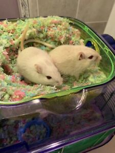 Two male gerbils