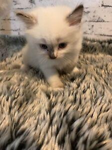 Ragdoll purebred kittens 🥰😻
