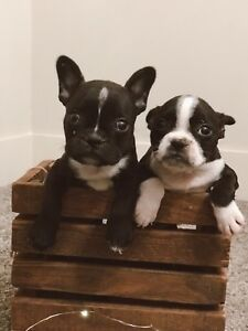 ADORABLE FRENCHTON PUPPIES ♥️ (French Bulldog X Boston Terrier)