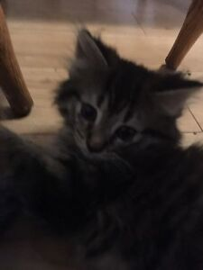 two free tabby kittens