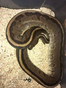 Currently available ball pythons