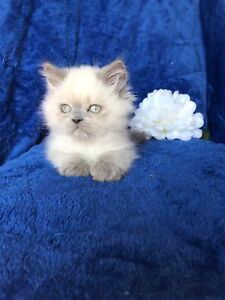 HIMALAYAN BLUE POINT MALE AVAILABLE NOW
