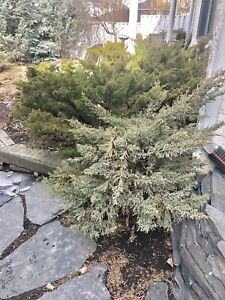FREE healthy Junipers