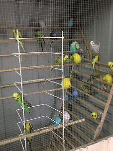 Budgie Show Breeder Stud Reduction Camberwell Boroondara Area Preview