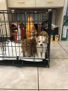 white poodle looking for newfamily