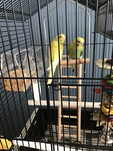 Two Budgies + all accessories for sale