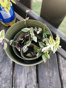 Rainbow and cream wandering Jew clippings