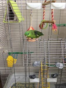 Friendly green Linnie (she is 1 year old)+cage