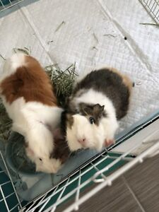 Two female Guinea Pig looking for home
