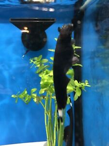 Ghost Knife Fish