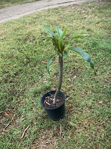 Frangipani tree x2