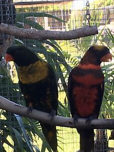 Breeding pair of duskys 5 year old Lawnton Pine Rivers Area Preview