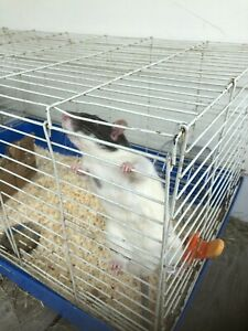 Rat de 6 mois a donner