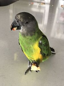 Handfed Tame and Friendly Senegal Parrot