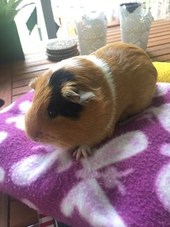 Female Guinea pig 4m old