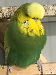 Quality Olive spangle budgie from show breeder Camberwell Boroondara Area Preview
