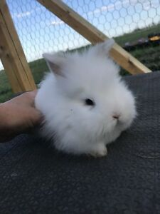 Holland Lop/ Lionhead Bunnies ready for forever homes